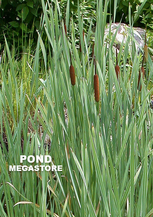 Variegated Common Cattail | Broadleaf Typha latifolia - Pond Megastore Wholesale Waterlilies Dept