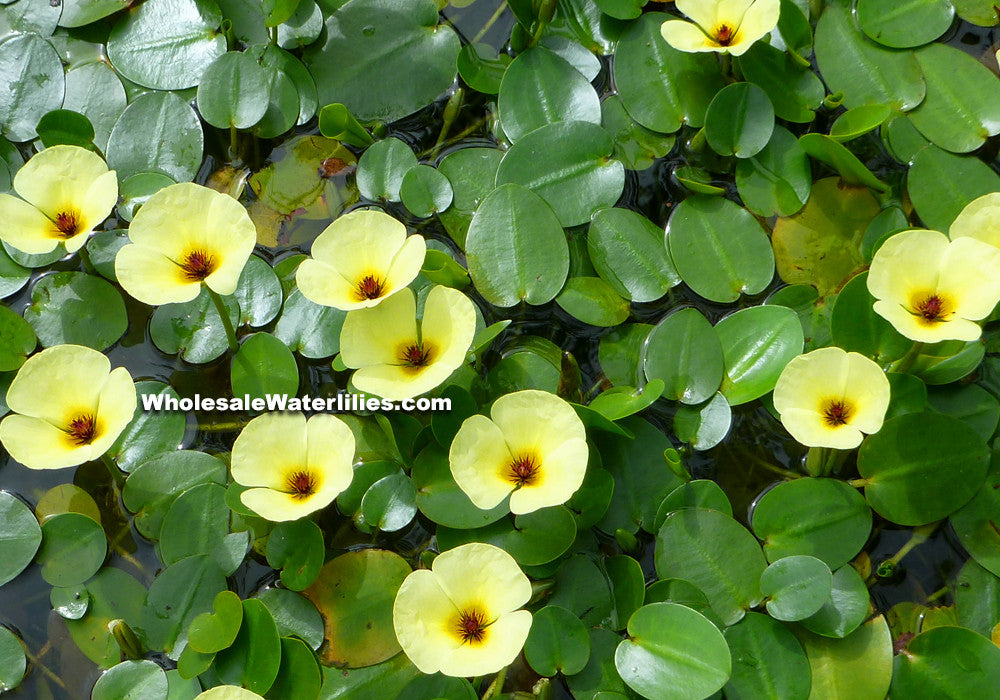 Water Poppy | Hydrocleys nymphoides | Potted - Pond Megastore Wholesale Waterlilies Dept - 1