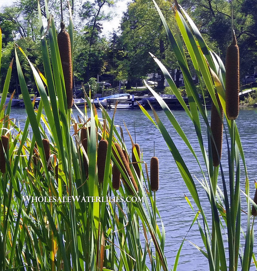 Common Cattail | Broadleaf Typha latifolia - Pond Megastore Wholesale Waterlilies Dept