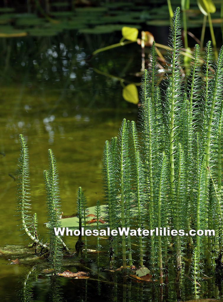 Mare's Tail | Hippuris vulgaris | Native - Pond Megastore Wholesale Waterlilies Dept
