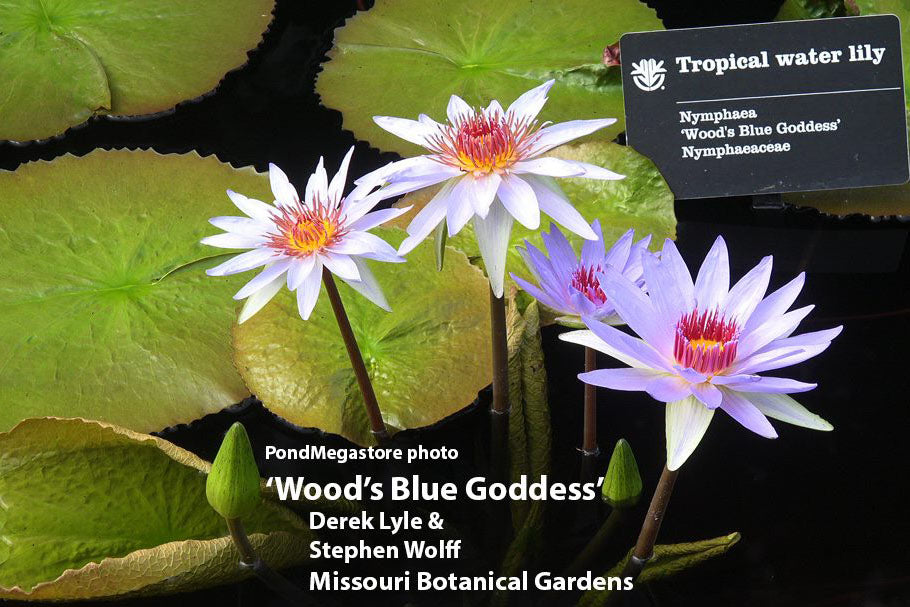 Woods Blue Goddess | Blue Water Lily
