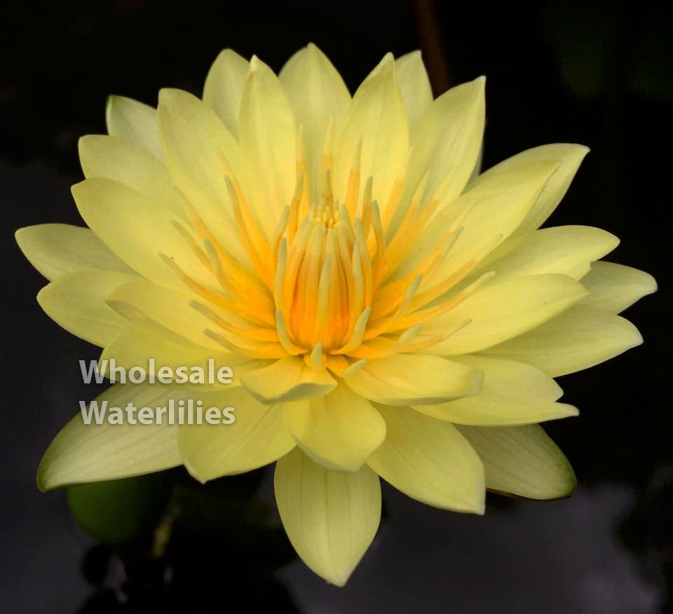 Yellow Dazzler | Yellow Water Lily