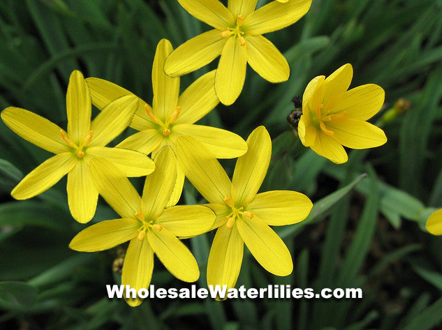 Yellow Eyed Grass | Sisyrinchium californicum - Pond Megastore Wholesale Waterlilies Dept