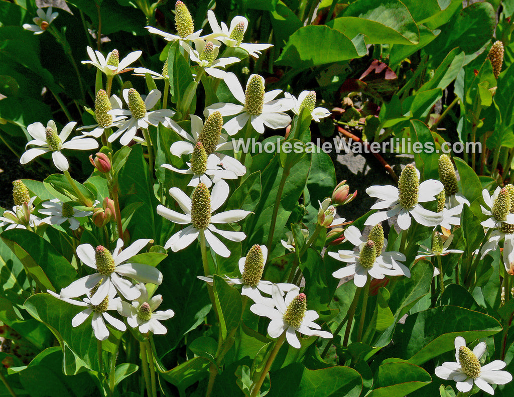 Yerba mansa | Anemopsis californica - Pond Megastore Wholesale Waterlilies Dept - 1