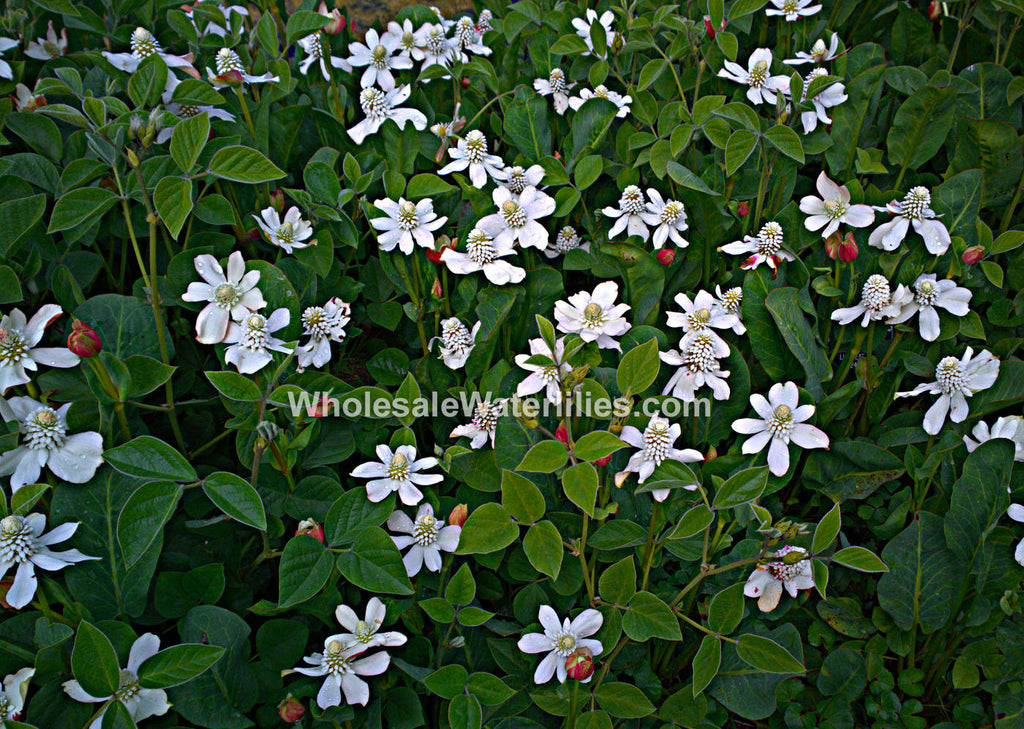 Yerba mansa | Anemopsis californica - Pond Megastore Wholesale Waterlilies Dept - 2
