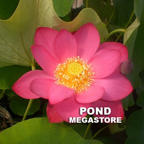 Yiming Red Premium Lotus - Pond Megastore Wholesale Waterlilies Dept