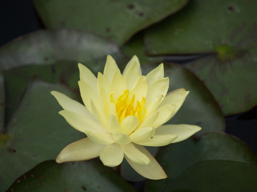 Hardy Assorted Yellow - growers choice - Pond Megastore Wholesale Waterlilies Dept