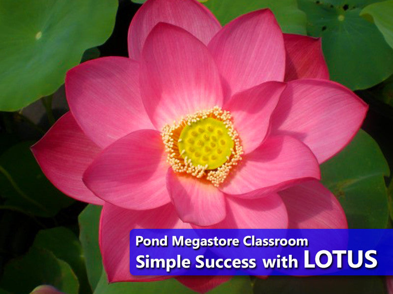 Growing Pond Lotus Nelumbo Flowers