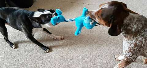 Bongo and harley testing a dog toy with tug of war game - the pet vault