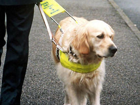Picture of Guide dog walking with owner - ThePetVault