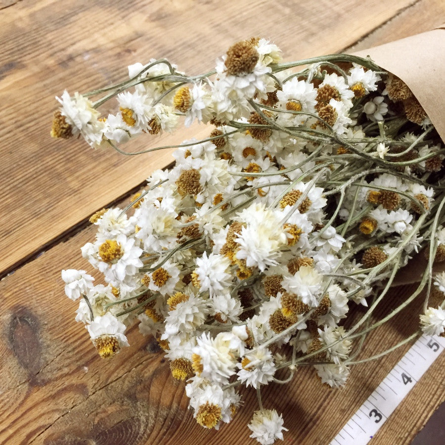 White Ammobium - Winged Everlasting - DIY Dried Flower Bundle ...