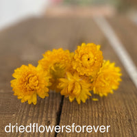 Dried stand straw flowers gold yellow