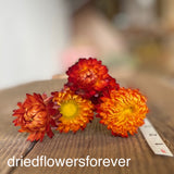 Dried orange straw flowers burnt bronze stemmed
