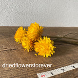 Golden yellow dried straw flowers stemmed