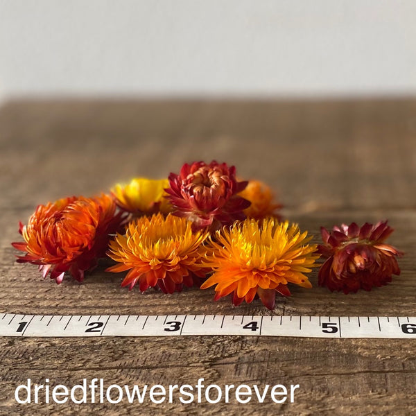 Dried strawflower orange flowers heads