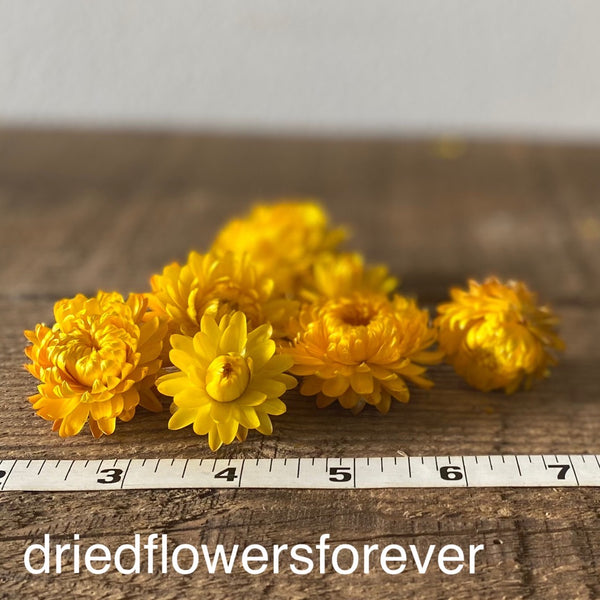 Dried straw flowers yellow gold heads