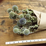 Echinops - Globe Thistle - Blue Gray