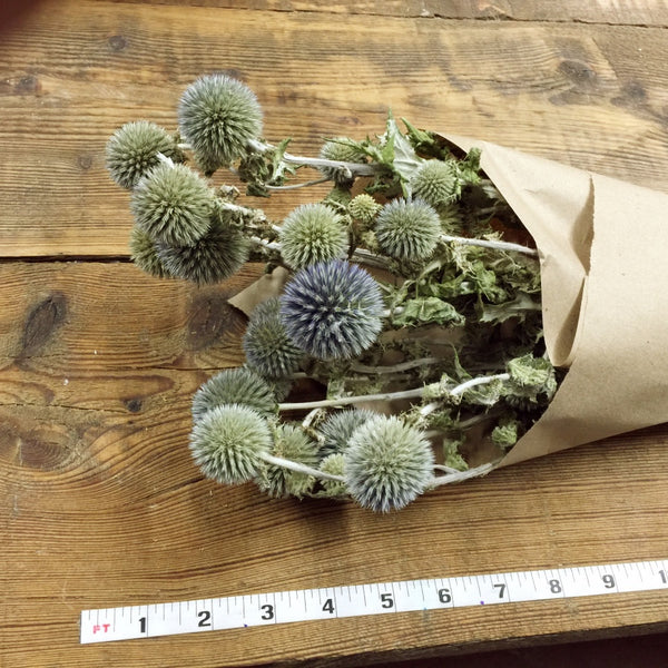 Blue Globe Thistle - Echinops - DIY Dried Flower Bundle