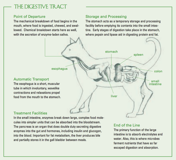 Cat digestive tract chart