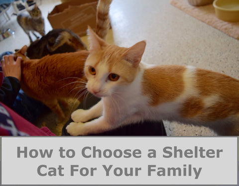 How to Choose a Shelter Cat For Your Family