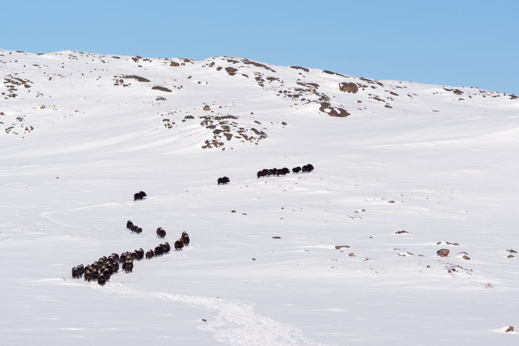 A large herd of muskox moving through the hills near Kugluktuk (Credit: DNV Photo)