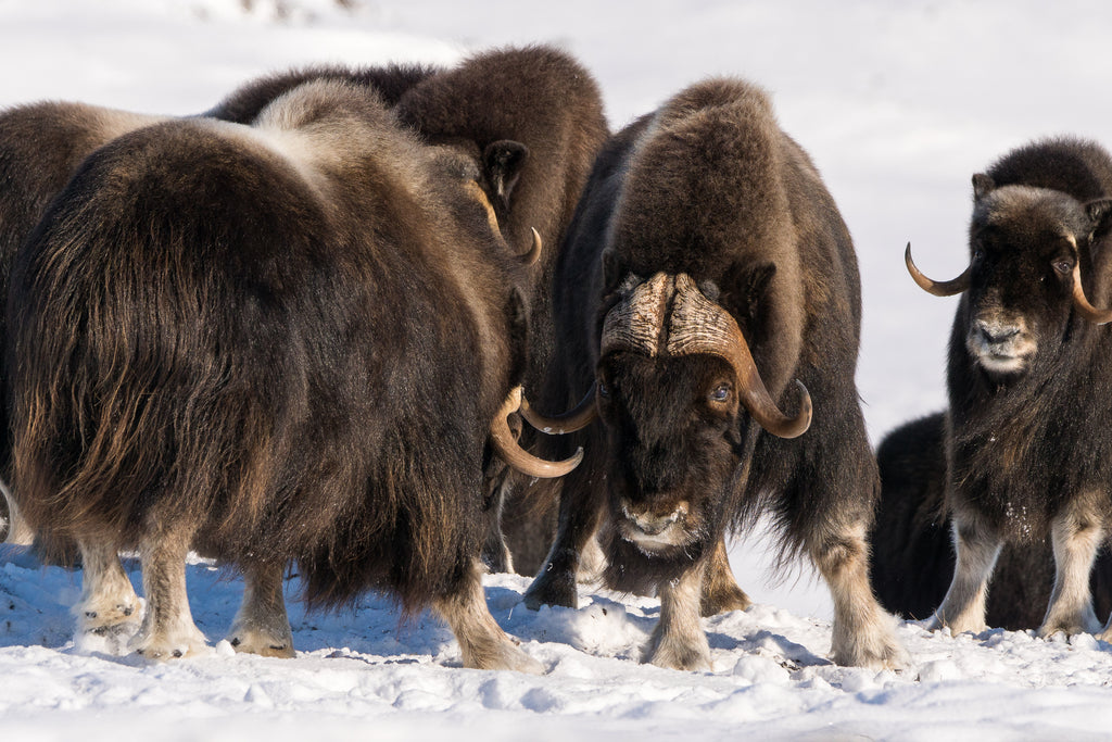 Long guard hairs of muskox cover their insulating qiviut layer (Credit: DNV Photo)