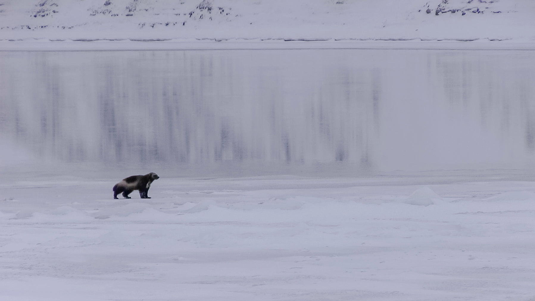 Wolverine on Coppermine River at Freeze up. (Credit: Umingmak Productions)