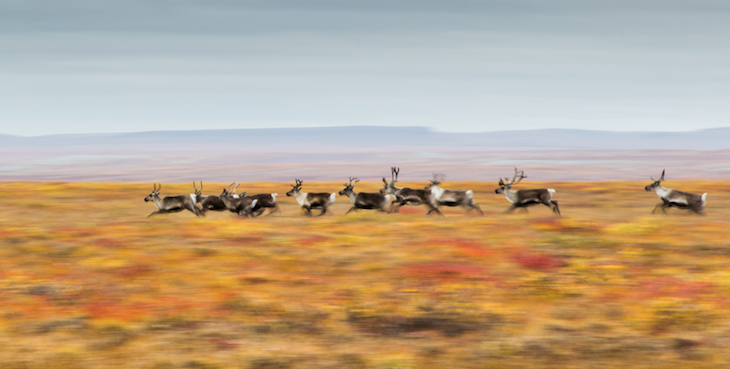 Moving caribou on Fall Tundra (Credit: Umingmak Productions)