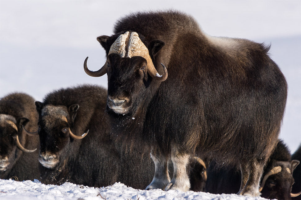 Photo of Muskox (Credit: DNV Photo)