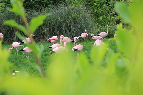 Flamingos at Slimbridge