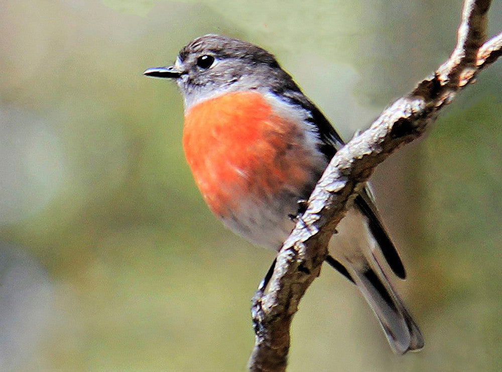 .1563 Pack of 5 Greeting Cards Scarlet Robin