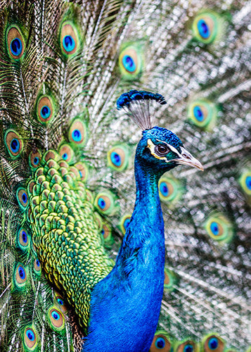1672  Pack of 5 Greeting Cards Resident Peacock