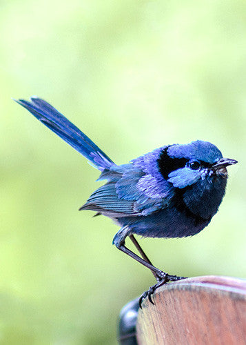.1559 Pack of 5 Greeting Cards Splendid Blue Fairy Wren