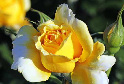 Greeting Cards Yellow rose