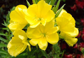 Evening Primrose Oil, 10% GLA- Organically Cultivated - blossom • a healing garden