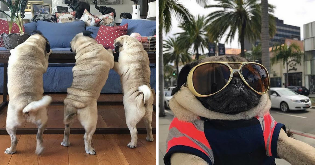 5 Pugs Instagram Accounts You Have to Follow Right This Second