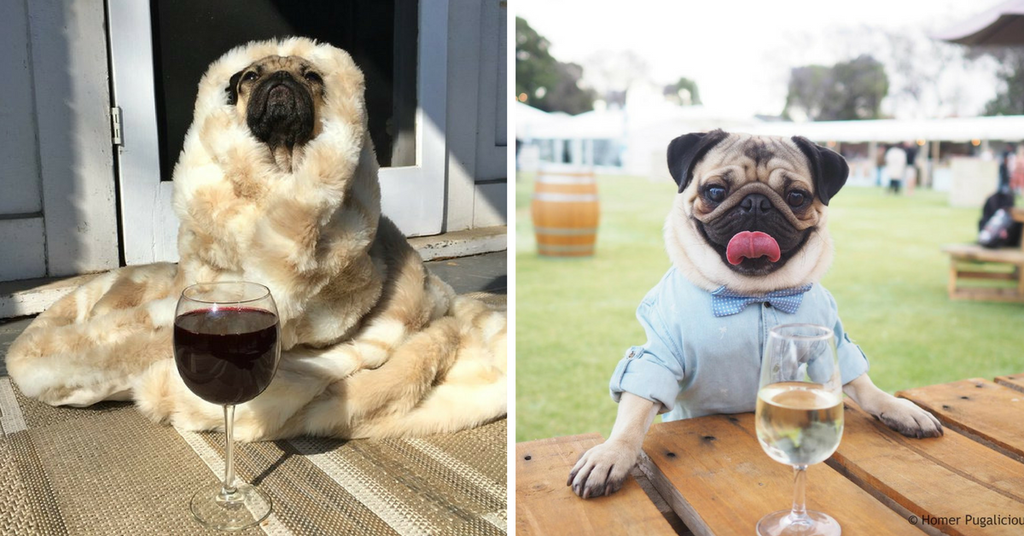 5 Reasons Pugs & Wine Are a Match Made in Heaven!