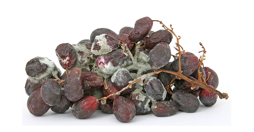 Mouldy grapes
