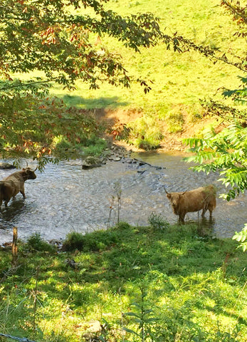 highland cows in creek