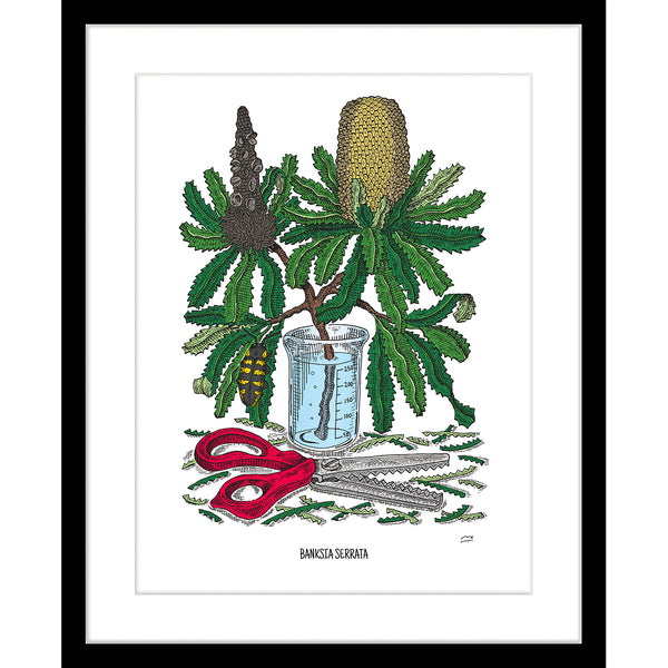 Limited Edition Botanic Art Print: Banksia Serrata