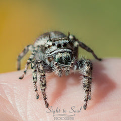 Jumping Spider Macro Photo
