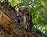 Great Horned Owlet photo