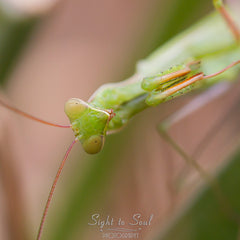 Praying Mantis macro photo