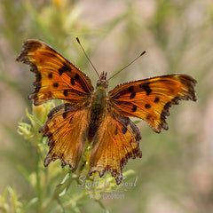 Hoary Comma Butterfly photo