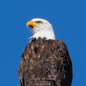 Bald Eagle portrait fine art print
