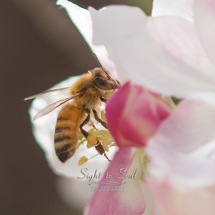 Honey Bee Photography, nature wall art, bee on apple blossoms