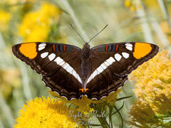 Black Butterfly Art, Nature Photography, Arizona Sister Butterfly