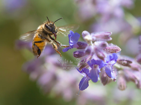Flying Honey Bee Wall Décor, Nature Photography, Fine Art Print