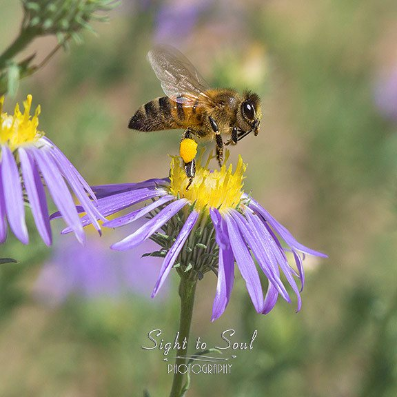 macro honey bee photo
