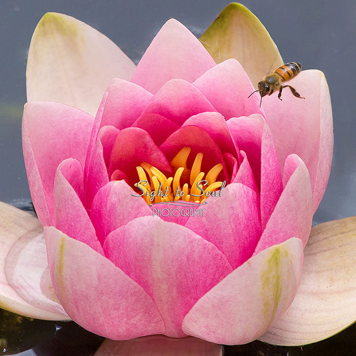 Honey Bee & Water Lily Photo